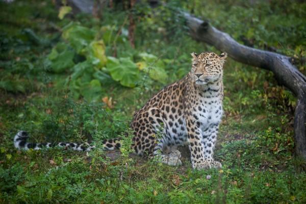 Amurleopard