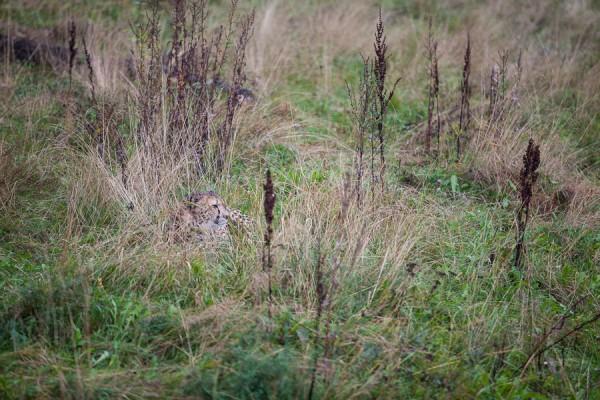 Dold Gepard
