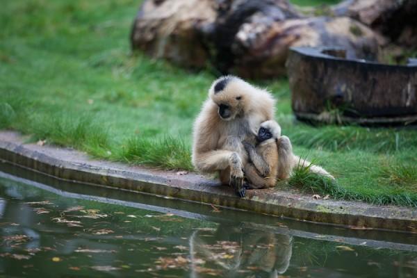 Gibbonapa med sin unge